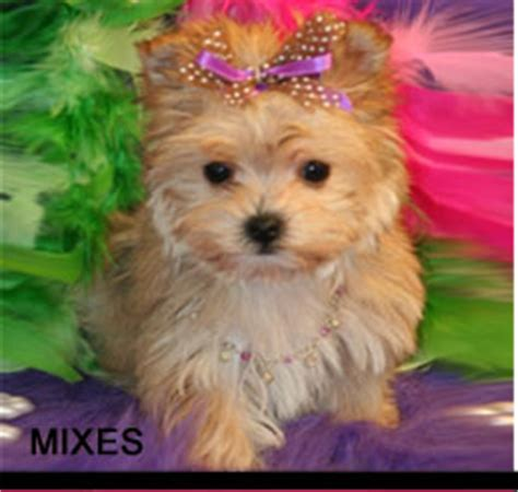 yorkie puppies for sale in denton tx puppies for sale