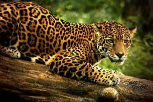What Is The Jaguars Scientific Name Jaguar Mexicano Cacer 237 A Furtiva Y Extinci 243 N