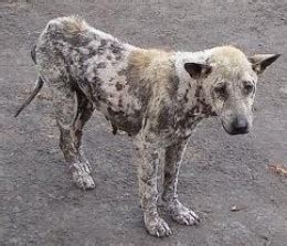 can humans get mange from dogs picture of with mange rash breeds picture