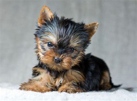 yorkie names terrier names puppies photo