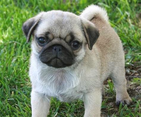 pugs in scotland land of the nerds a k a lamans language why i the minions