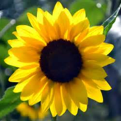 What Is The Alaska State Flower - kansas state nickname the sunflower state
