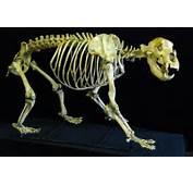 Cave Bear Skeleton Fossils For Sale Ursus Spelaeus