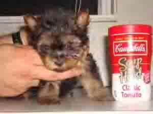 teacup yorkie sacramento teacup yorkie puppies for adoption for sale adoption from sacramento california