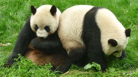 imagenes de animales nuevas especies los osos panda ya no est 225 n en peligro de extinci 243 n