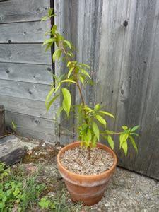 Planter Un Noyau De Peche Plate by Semis De Noyaux Exemple Avec La P 234 Che
