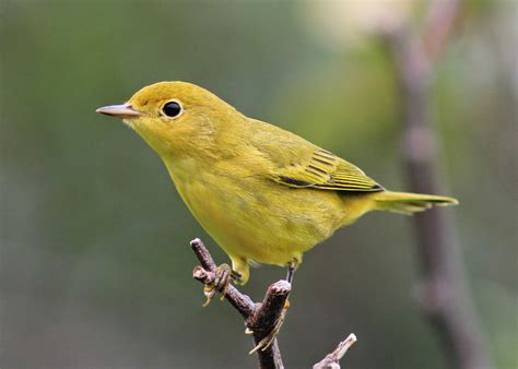 birding with lisa de leon small yellow birds in newfoundland