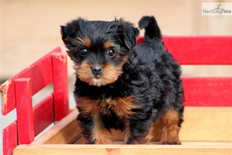 yorkie poo puppies for sale australia pug yorkie puppies