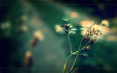 dandelion background dandelion hd wallpaper and background image