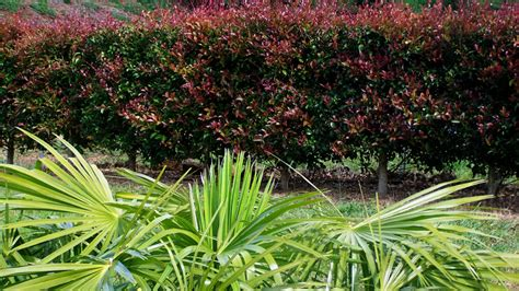 lilly pilly red head   plants garden supplies