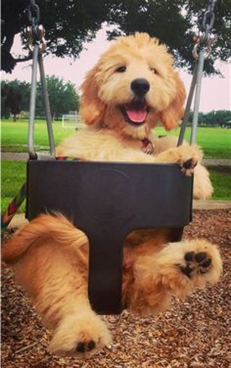 goldendoodle puppy tricks 1000 ideas about labradoodle puppies for sale on