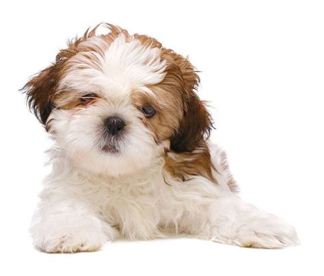 shih tzu boy puppy names shih tzu names ideas for this