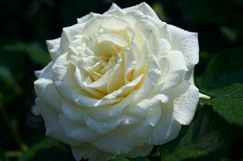 imagenes de rosas blancas gratis banco de im 193 genes 12 fotos de rosas blancas white roses