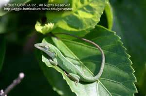 gecko change color beneficial lizards in the landscape 19 green anole