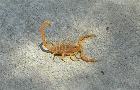 Scorpion Stings Bites Desertusa