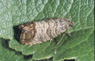 tips for managing codling moth don t give me that frass
