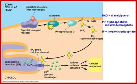 g proteins and second messengers cellular signal transduction4 second messengers and