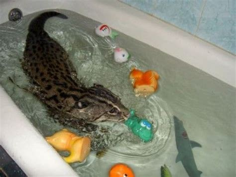 cat bathtub 58 best images about wet cats on pinterest happy