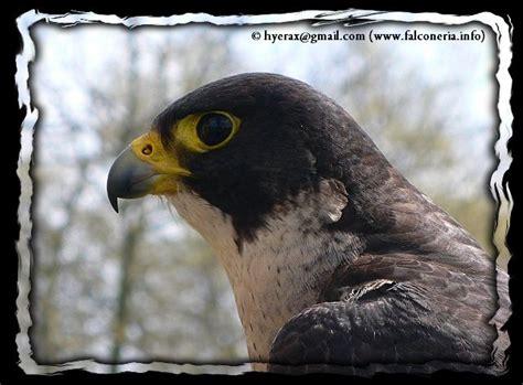 falco pellegrino alimentazione falco pellegrino