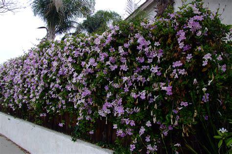 houseplant vine clytostoma callistegioides