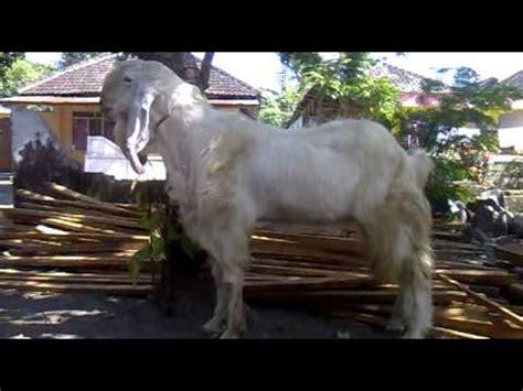 Kambing Etawa Why kambing etawa senduro jantan 1 mp4