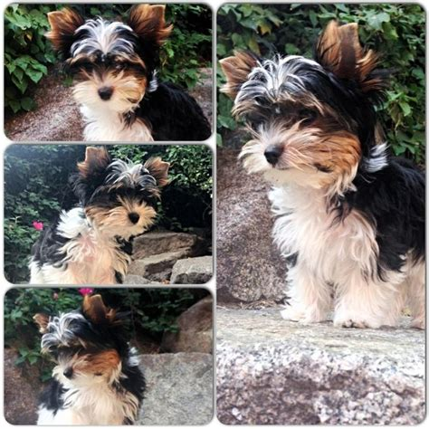 pattern making courses yorkshire 161 best images about biewer yorkshire terrier on