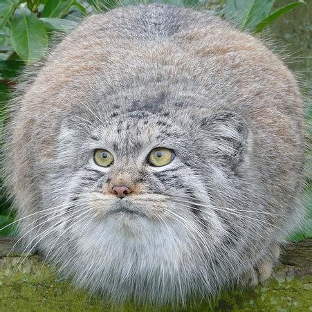 Facts About The Toaster Pallas Cat Octobulusmanul Twitter