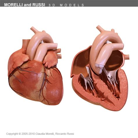 coronal section of heart pin heart coronal section on pinterest