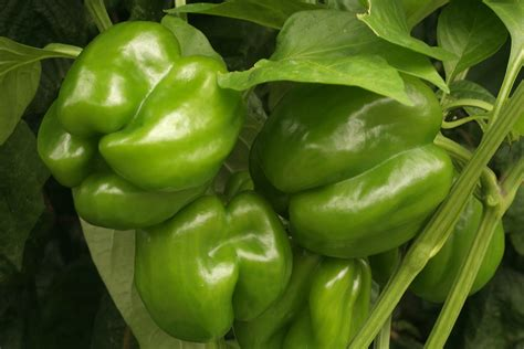 How To Prepare A Garden Bed Pepper Varieties That Are Easy To Grow