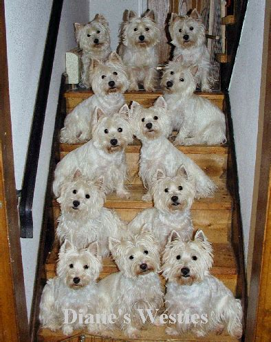 price of westie puppies so ya wanna get a westie eh where do westie dogs come from with our westies wow