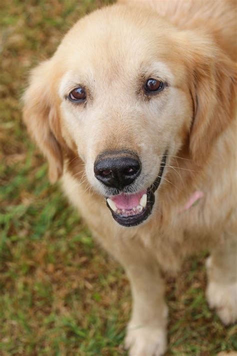 golden retriever adults for adoption 25 best ideas about golden retriever on puppy flowers dogs and