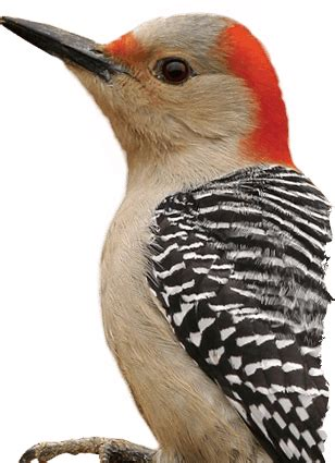 red bellied woodpecker wild delightwild delight
