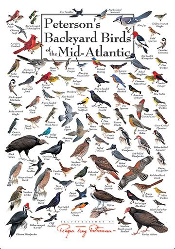 alf img showing gt mid atlantic bird identification
