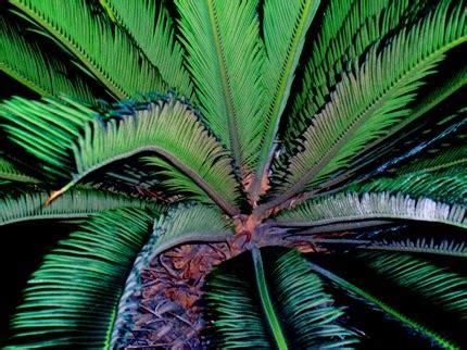 carabertani tanaman hias pakis  berduri