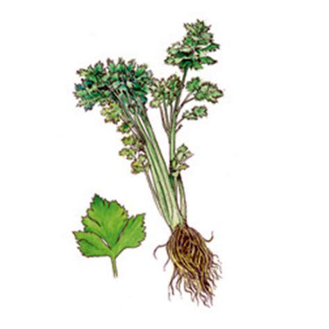alimenti alzano la pressione coltivazione sedano finocchio cavolo broccolo societ 224