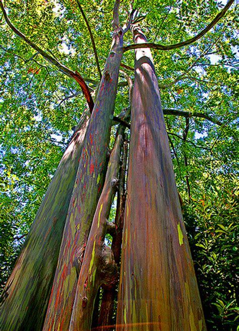 eucalyptus trees nursery plants eucalyptus plants eucalyptus tree