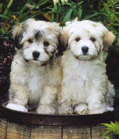 hypoallergenic havanese 1000 ideas about hypoallergenic puppies on cavalier king charles king