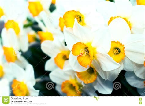 yellow and white l white narcissus yellow daffodils in springtime royalty