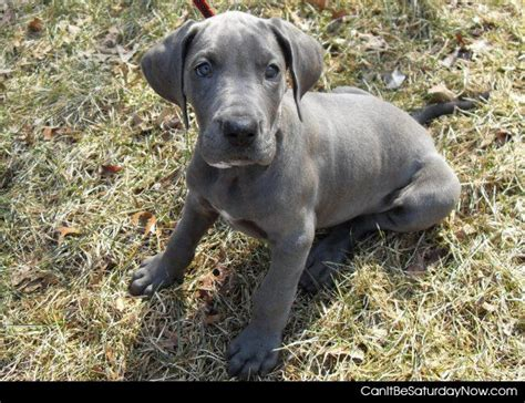grey puppies can it be saturday now grey