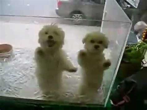 imagenes chistosas bailando perros chistosos bailando merengue youtube