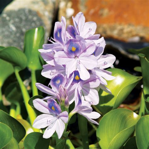 Lake Home Decor water hyacinth bundle of 3 floating plants the pond guy