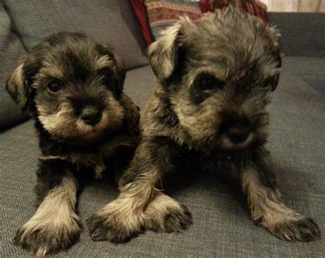 salt and pepper schnauzer puppies for sale salt and pepper miniature schnauzer puppies car interior design