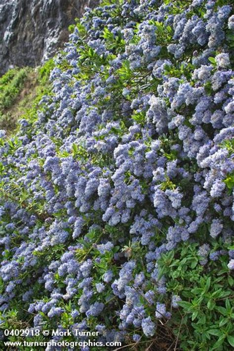 ceanothus thyrsiflorus blueblossom ceanothus