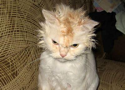 blog pribadi    share wallpaper kucing keren