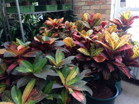 croton plant varieties care  maintenance