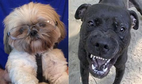 bull shih tzu supreme court on fisher is strict scrutiny a pit bull or shih tzu comedian of