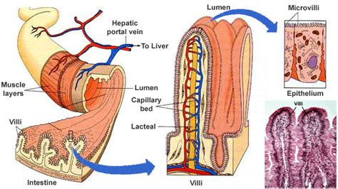 cross section of the small intestine how small intestine villi help with nutrients absorption