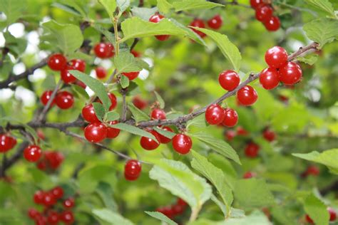 little berry red berries edible or not edible gettystewart com