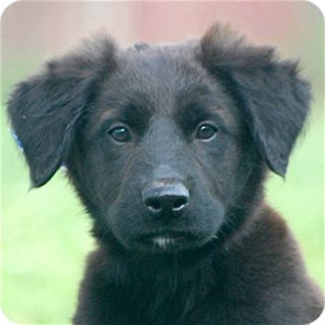 newfoundland lab mix puppies lab newfoundland mix breeds picture