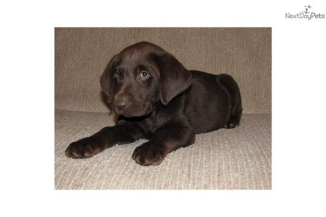 chocolate lab puppies for free meet chocolate females a labrador retriever puppy for sale for 600 free